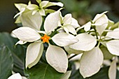VIRGIN TREE, WHITE MUSSAENDA