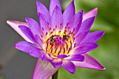 BEES GATHER POLLEN FROM PURPLE WATERLILY, NYMPHAEA