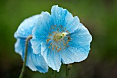 MECONOPSIS FERTILE BLUE GROUP MILDRED