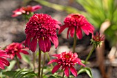 ECHINACEA DOUBLE SCOOP CRANBERRY