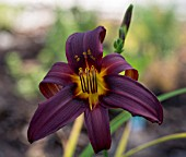 HEMEROCALLIS JUAN MARIA DEEP PURPLE