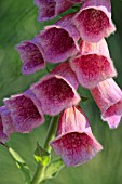 DIGITALIS X MERTONENSIS STRAWBERRY FOXGLOVE
