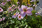 JAPANESE ANEMONE, ANEMONE JAPONICA