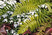 DOUBLE FLOWERED GALANTHUS IN A FERN BED