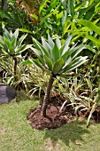 AGAVE ATTENUATA IN A TROPICAL BORDER WITH PANDANUS AND MUSA CULTIVAR
