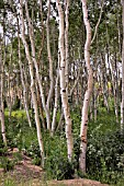 WHITE BIRCHES, BETULA PAPYRIFERA