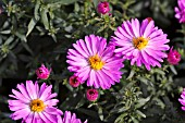 ASTER NOVI-BELGII LITTLE PINK BEAUTY