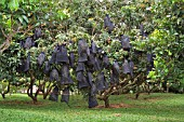 DIMOCARPUS LONGAN VAR MALESIANUS TREES WITH BLACK NET BAGS TO PROTECT FRUIT
