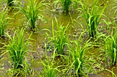 ORYZA SATIVA INDICA, RICE PLANTS