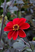 DAHLIA ROMEO (DARK LEAVED HAPPY SINGLE SERIES)