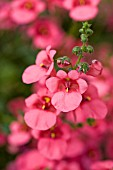 DIASCIA WHISPER SALMON RED