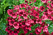 DIASCIA DEVOTION CRIMSON