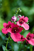 DIASCIA DEVOTION PLUM