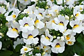 NEMESIA ANGELART ALMOND IMPROVED