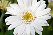 GERBERA EVERLAST WHITE