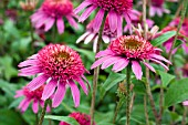 ECHINACEA PINK DOUBLE DELIGHT