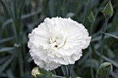 DIANTHUS DEVON DOVE