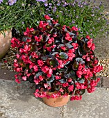 BEGONIA DOUBLET RED IN PATIO TUB