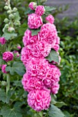 ALCEA CHATERS DOUBLE PINK (HOLLYHOCK)