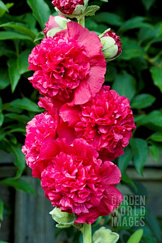 ALCEA_ROSEA_CHATERS_DOUBLE_RED