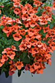 DIASCIA ROMEO ORANGE