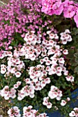 DIASCIA APPLEBLOSSOM, NEMESIA ICE IN PINK THEME PATIO TUB