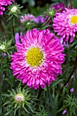 ASTER ROUNDABOUT ROSE