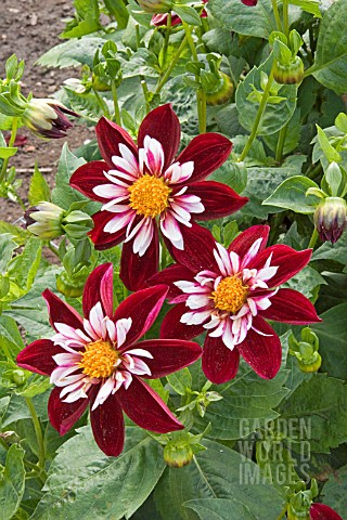 DAHLIA_NIGHT_BUTTERFLY_COLLARETTE