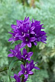 Garden World Images - Search - Campanula Bellefleur Blue