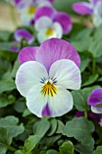 VIOLA ROCKY WHITE WITH PINK WING