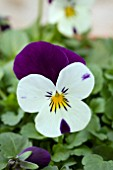 VIOLA ROCKY WHITE WITH PURPLE WING
