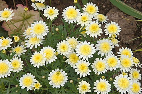 ARGYRANTHEMUM_CRESTED_YELLOW_MARGUERITE__MADEIRA_SERIES