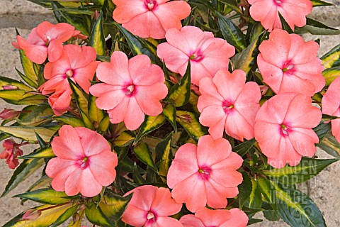 IMPATIENS_SONIC_SALMON_ON_GOLD_NEW_GUINEA