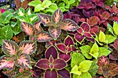 COLEUS WIZARD MIXED, (SYN. SOLENOSTEMON WIZARD MIXED)