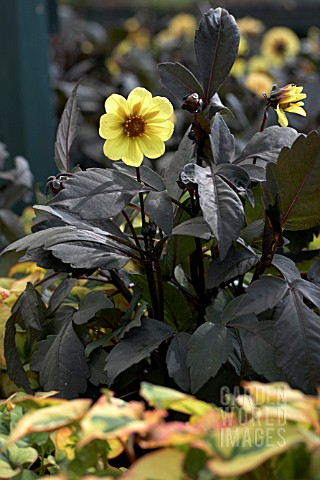 DAHLIA_CLARION_AND_HOUTTUYNIA_LEAVES