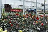WORKING IN COMMERCIAL GLASSHOUSE,  DAHLIAS DARK LEAVED MIXE,  WD SMITH & SON.