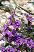 VERBENA RIGIDA,  LOW GROWING DROUGHT TOLERANT