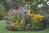 LATE SUMMER BORDER WITH RUDBECKIAS AND COSMOS AT WESTLANDS GARDEN,  SALLY PLAYER.