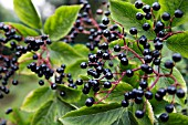 SAMBUCUS NIGRA EUROPEAN ELDER WITH RIPE BERRIES