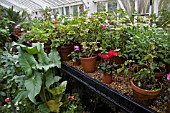 VARIOUS PLANTS IN CONSERVATORY AT DENMANS GARDEN OVERWINTERING