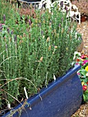 LAVANDULA,  LAVENDER IN CONTAINER AT DENMANS GARDEN CENTRE