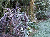 HARD FROST ON SAMBUCUS BLACK LACE, ACANTHUS AND GRASS IN BORDER