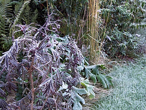 HARD_FROST_ON_SAMBUCUS_BLACK_LACE_ACANTHUS_AND_GRASS_IN_BORDER
