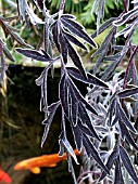 FROST ON SAMBUCUS BLACK LACE