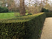 TRIMMED TAXUS BACCATA, YEW HEDGE AT CAPEL MANOR.