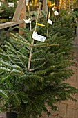 PICEA ABIES NORDMAN FIR,  CHRISTMAS TREES FOR SALE