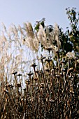 ECHINACEA PURPUREA,  SNOW ON SEEDHEADS