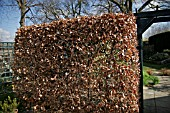 BEECH HEDGE,  FAGUS RETAINING FOILAGE THROUGHOUT WINTER