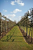 PLEACHED LIME WALK AT CAPEL MANOR MARCH