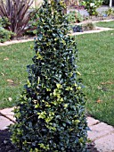 NEW GROWTH ON PYRAMID BUXUS,  BOX
